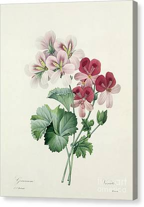 In Bloom Canvas Print - Geranium Variety by Pierre Joseph Redoute