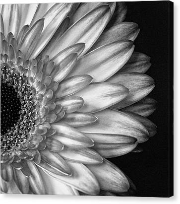 Gerber Daisy Black And White Canvas Print
