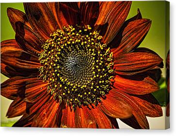 Gerber Daisy Full On Canvas Print
