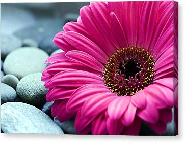 Gerber Daisy In Pebbles Canvas Print by Helen Stapleton