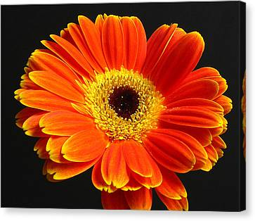 Gerber Daisy Portrait Canvas Print by Juergen Roth