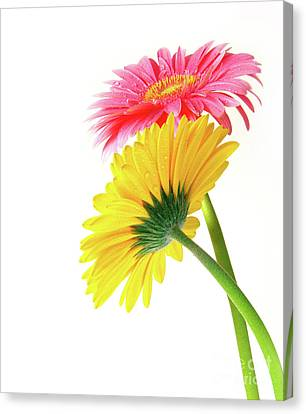 Gerber Flowers Canvas Print by Carlos Caetano
