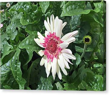 Gerbera Daisy And Bud Canvas Print by Aimee L Maher Photography and Art Visit ALMGallerydotcom