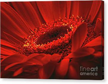 Canvas Print featuring the photograph Gerbera Daisy In Red by Sharon Talson