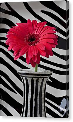 Gerbera Daisy In Striped Vase Canvas Print by Garry Gay