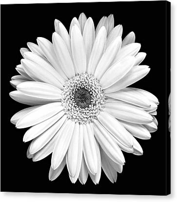 Single Gerbera Daisy Canvas Print