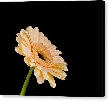 Gerbera Daisy On Black Canvas Print by Clare Bambers