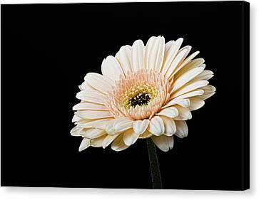 Canvas Print featuring the photograph Gerbera Daisy On Black II by Clare Bambers