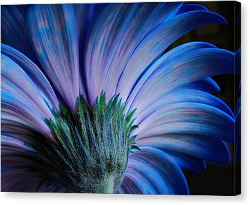 Canvas Print featuring the photograph Gerbera by Marilynne Bull