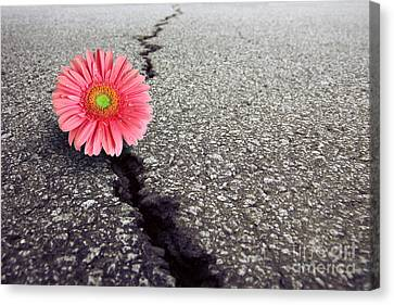 Gerbera On Asphalt Canvas Print by Carlos Caetano
