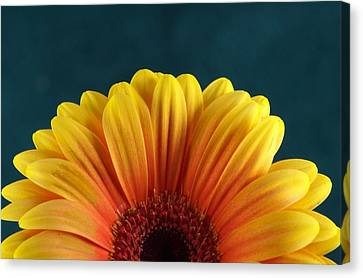 Gerbera Sunrise Canvas Print by Michael Park