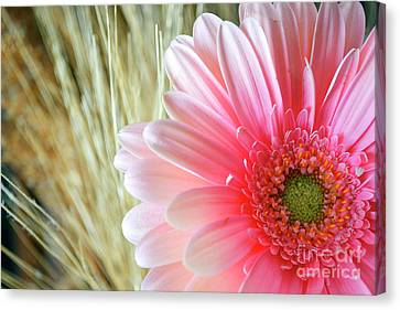 Canvas Print featuring the photograph Gerberlicious by Traci Cottingham