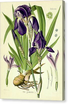 Purple Flowers Canvas Print - German Iris by German School