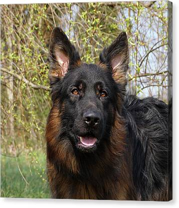 Canvas Print featuring the photograph German Shepherd Close Up by Sandy Keeton