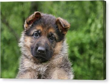 German Shepherd Puppy IIi Canvas Print by Sandy Keeton