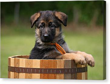 German Shepherd Puppy In Planter Canvas Print