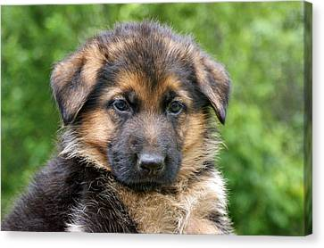 German Shepherd Puppy Canvas Print by Sandy Keeton