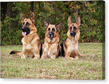 German Shepherds - Family Portrait Canvas Print by Sandy Keeton