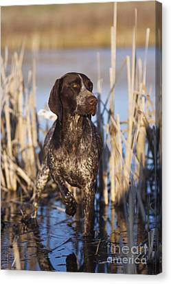 Cattail Canvas Print - German Shorthair On Point -  D000897 by Daniel Dempster