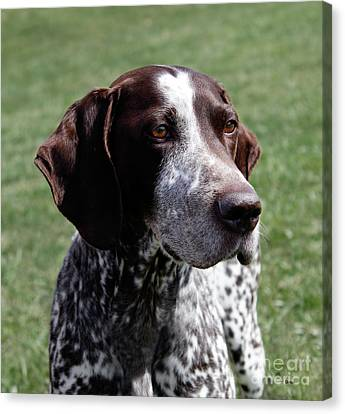 German Shorthaired Pointer  Canvas Print by Steven Digman