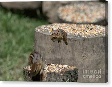 Get Off My Stump Buster Canvas Print by Dan Friend