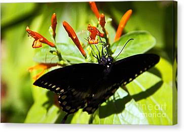 Getting The Nectar Canvas Print by Kelly Holm