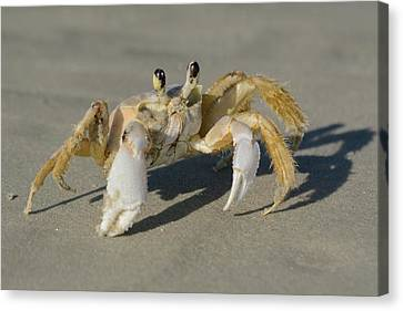Canvas Print featuring the photograph Ghost Crab by Bradford Martin