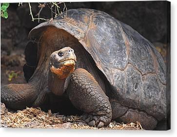 Giant Galapagos Tortoise Canvas Print