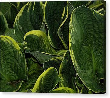 Giant Hosta Closeup Canvas Print