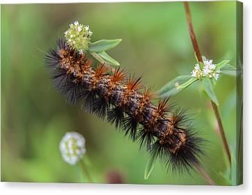 Giant Leopard Moth Caterpillar Canvas Print