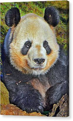 Giant Panda. Canvas Print by Andy Za