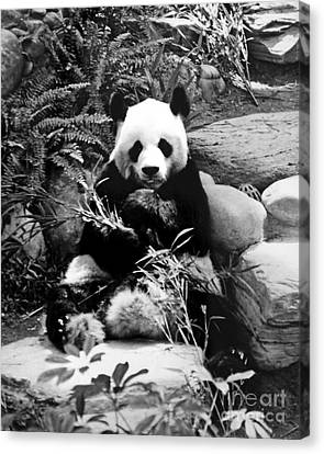 Giant Panda In Black And White Canvas Print
