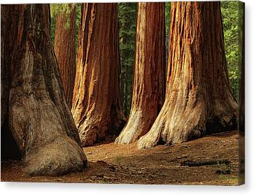 Giant Sequoias, Yosemite National Park Canvas Print by Andrew C Mace