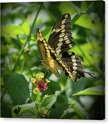 Giant Swallowtail On Lantana Canvas Print