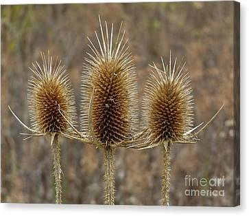 Giant Thistle Burrs        Autumn   Indiana Canvas Print by Rory Cubel