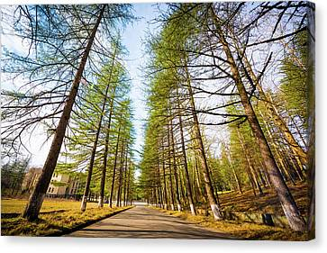 Giant Trees Canvas Print by Svetlana Sewell