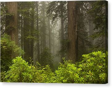 Redwoods Canvas Print - Giants In The Mist by Mike  Dawson
