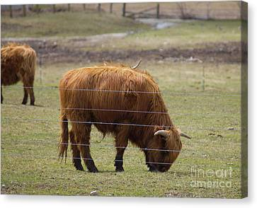 Ginger Highland Cow In Pasture Canvas Print by Donna Munro