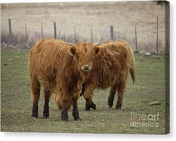 Ginger Juvenile Cows Canvas Print by Donna Munro