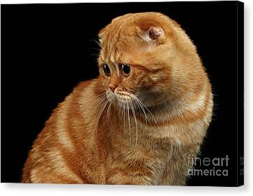 Ginger Scottish Fold Cat Looking Back Isolated On Black  Canvas Print by Sergey Taran