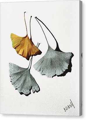 Ginkgo Leaves Canvas Print by Garry McMichael
