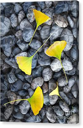 Ginkgo Leaves On Gray Stones Canvas Print by Laura Iverson