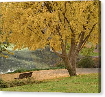 Uc Davis Canvas Print - Ginkgo Tree In The Fall  by Alessandra RC