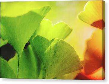 Foliage Canvas Print - Ginko Gala by Terry Davis