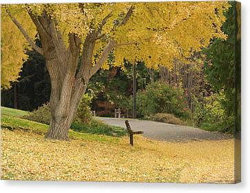 Uc Davis Canvas Print - Yellow Ginkgo Tree In The Autumn by Alessandra RC