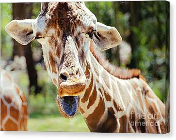 Canvas Print featuring the photograph Giraffe by Andrea Anderegg
