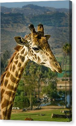 Canvas Print featuring the photograph Giraffe by April Reppucci