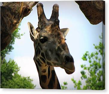 Canvas Print featuring the photograph Giraffe by Beth Vincent