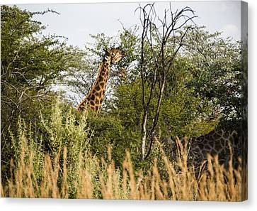 Giraffe Browsing Canvas Print by Patrick Kain