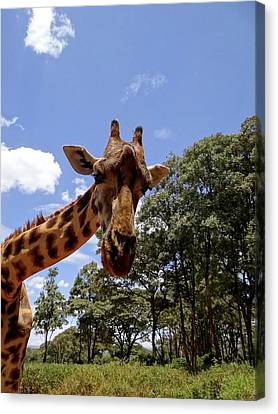 Giraffe Getting Personal 4 Canvas Print